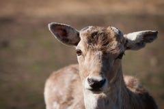 élevage de cerfs communs Images libres de droits