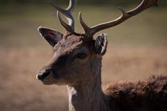 élevage de cerfs communs Image stock