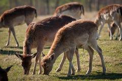 Élevage de cerfs communs en Lettonie Photographie stock libre de droits