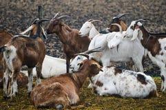 Élevage de chèvre Photos libres de droits
