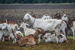 Élevage de chèvre Photographie stock