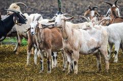 Élevage de chèvre Photographie stock libre de droits