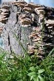 Élevage de champignon Photographie stock