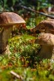 Élevage de champignons Photographie stock