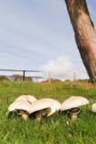 Élevage de champignons de couche Photos libres de droits