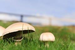 Élevage de champignons de couche Images stock
