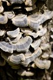 Élevage de champignons de couche. Images libres de droits