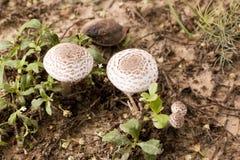 Élevage de champignons de poisons Image stock