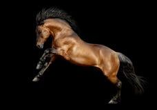 Élevage de cheval de trait d'isolement sur le noir Images stock