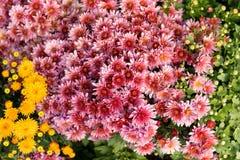 Élevage de chrysanthèmes Images stock