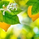 Élevage de citrons Photographie stock libre de droits