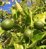 Élevage de citrons Image libre de droits