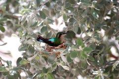 Élevage de colibri, oiseau vert sur le nid Curaçao Photos stock