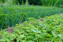 Élevage de concombre et d'oignon Photographie stock libre de droits