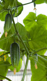 Élevage de concombres Photos libres de droits