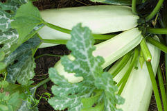 Élevage de courge de moelle /courgette Photo libre de droits