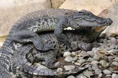 Élevage de crocodile sur l'au sol de roche Images libres de droits