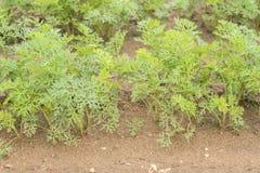 Élevage de culture de carottes Photo libre de droits