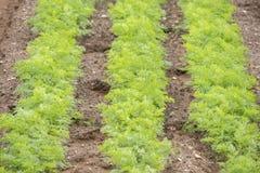 Élevage de culture de carottes Photos libres de droits