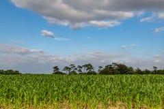 Élevage de cultures de céréale dans le Sussex Images libres de droits
