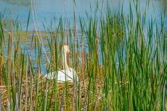 Élevage de cygne sur son nid dans un lac Photo libre de droits