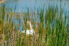 Élevage de cygne sur son nid dans un lac Image stock
