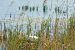 Élevage de cygne sur son nid dans un lac Images stock