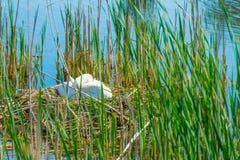 Élevage de cygne sur son nid dans un lac au printemps Photographie stock libre de droits