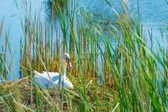Élevage de cygne sur son nid dans un lac au printemps Photo stock