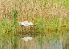Élevage de cygne sur son nid près d'un lac Photographie stock