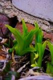 Élevage de daylilies de Bush Atteinte pour le soleil Photographie stock libre de droits