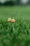 Élevage de deux champignons Photo libre de droits