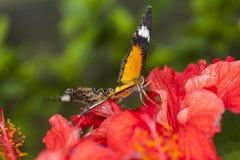 Élevage de deux papillons sur les feuilles en nature Photos libres de droits