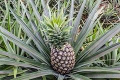 Élevage de ferme de fruit d'ananas Image libre de droits