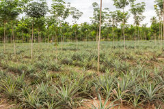 Élevage de ferme de fruit d'ananas Photographie stock