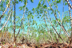 Élevage de ferme de manioc Images libres de droits