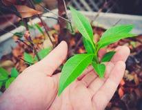 Élevage de feuilles Photo stock