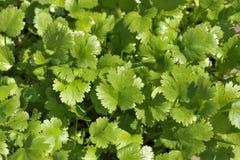 Élevage de feuilles de coriandre Photos stock