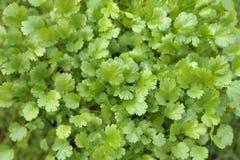 Élevage de feuilles de coriandre Images stock