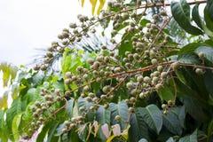 Élevage de feuilles et de fruits de vert sur un arbre Photographie stock libre de droits