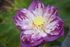 Élevage de feuilles de Lotus Photos libres de droits