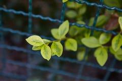Élevage de feuilles de vert Image libre de droits