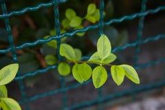 Élevage de feuilles de vert Photographie stock