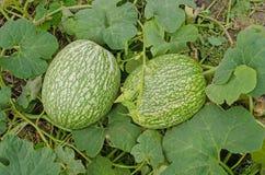 Élevage de ficifolia de Cucurbita Images stock