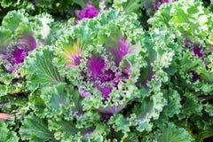 Élevage de fleur de chou de culture Image stock