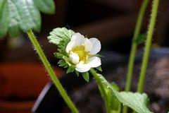 Élevage de fleur de fraise Photographie stock libre de droits
