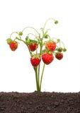 Élevage de fraise Image libre de droits