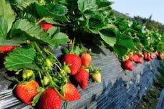 Élevage de fraises Image stock
