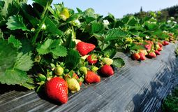 Élevage de fraises Images stock