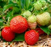 Élevage de fraises Photos libres de droits